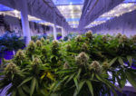 California Could Reshape Pot Rules As Shaky Supply Chain Struggles