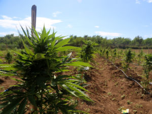 Pot Thrives in Emerging Latin American Cannabis Markets