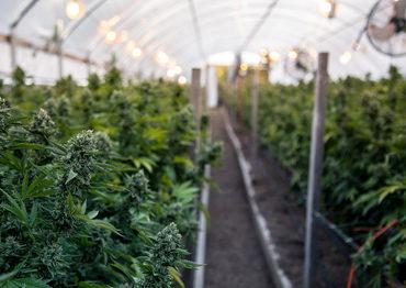 0111_usfirmbuildingcannabis