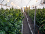 U.S. Firm Building `Cannabis Superhighway' Is Looking to Canada