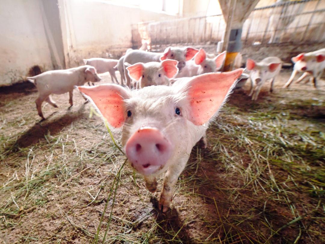 Kim Jong Un May Be Hiding a Hog Apocalypse From the World