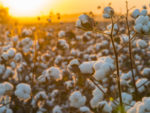 U.S. Cotton-Crop Conditions Deteriorate as Texas Fields Bake