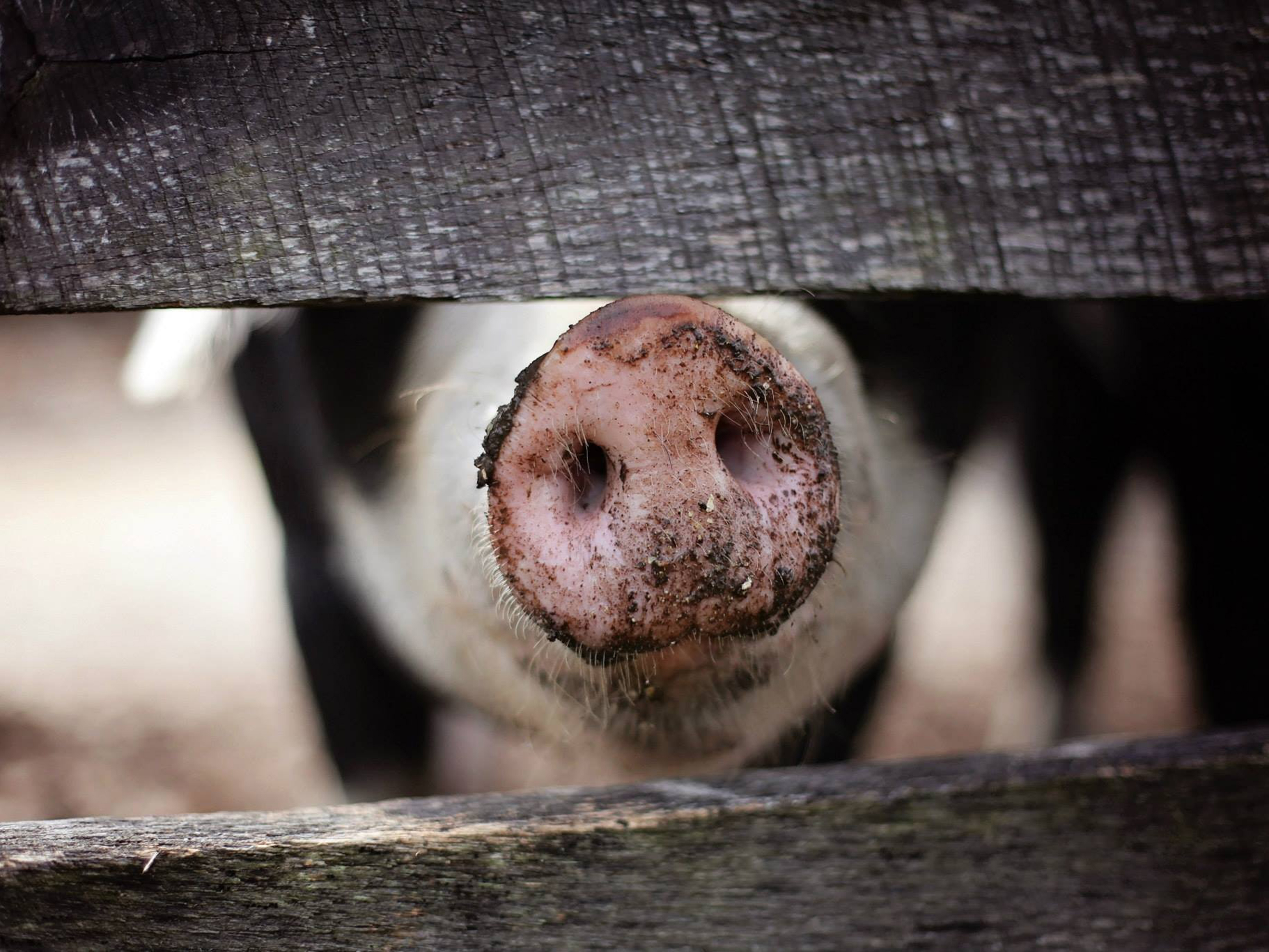 Thousands of Pigs Rot in Compost as U.S. Faces Meat Shortage