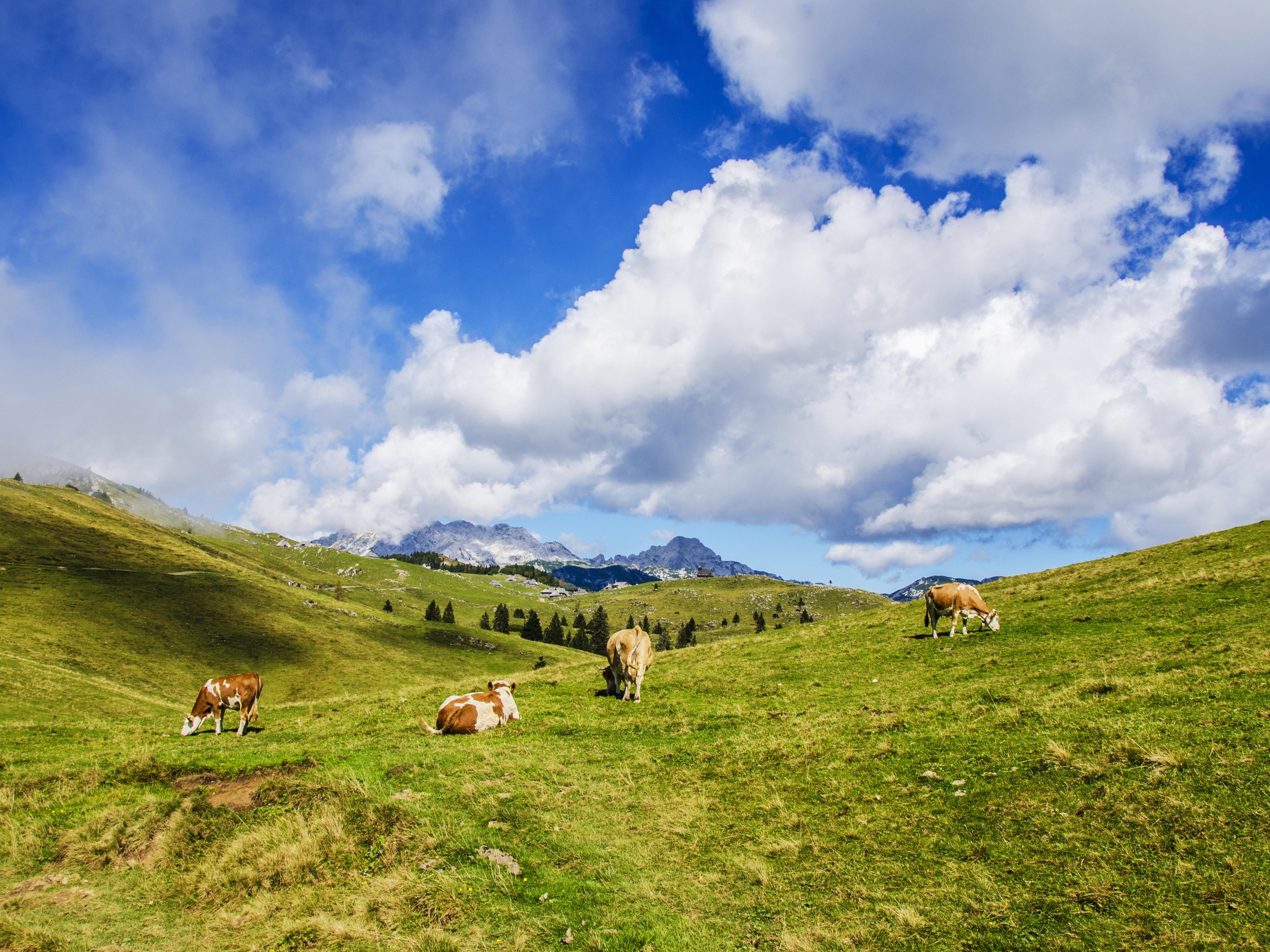 1214 cows